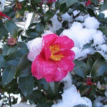 雪を被って咲く姿が可憐