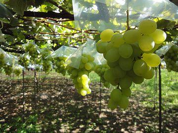 色とりどりの葡萄