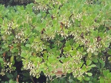 ドウダンツツジのような花ですが