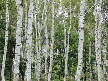 あたりは白樺林に