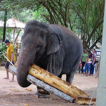 スリランカの象。運んでる丸太は建築資材ではなく、自分のエサだそうです