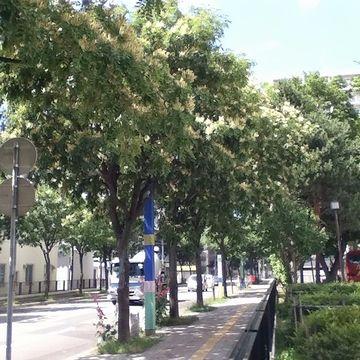 イヌエンジュの街路樹