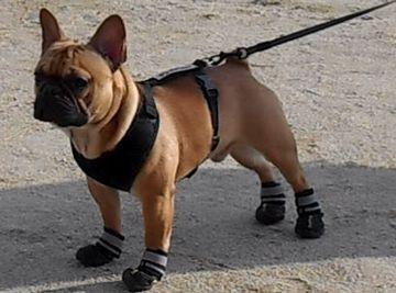 肉球の火傷防止に、靴も必要だそうです。『沓はけ我が背』。