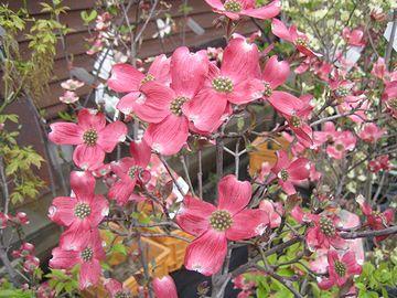 花びらに見えるのは、総苞で、中央の粒々が花です