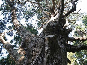 こちらも、樹齢1,000年