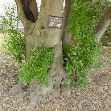 モチノキの巨木