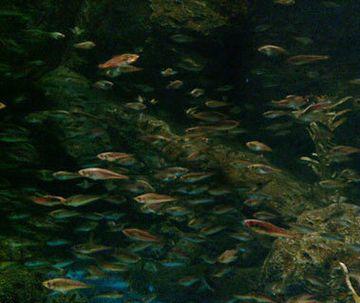 『男鹿水族館GAO』のハタハタ水槽