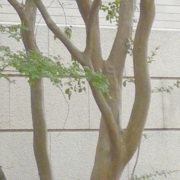 木肌や葉の具合から、サルスベリ