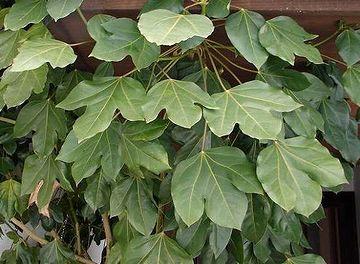 日陰に強く、カエルみたいな葉っぱが可愛い常緑樹
