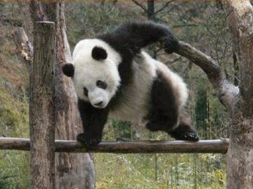 身軽すぎるパンダ