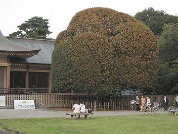 『江戸東京たてもの園』のキンモクセイ