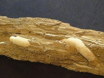 海水生のフナクイムシは、海中の木材を食べて生きてる