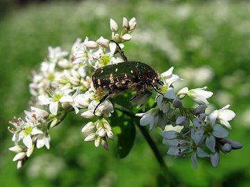 異なった株同士でなければ受粉しない植物を、他家受粉植物と呼ぶ