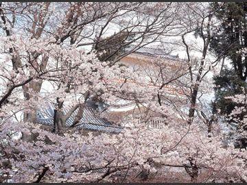 桜の名所・千秋公園