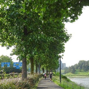 皇居周りの街路樹も直径が1メートル