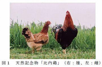 比内鶏は、国の天然記念物