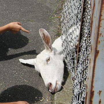 「やまなみ牧場」のヤギ