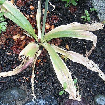 萎びたアリウムの葉