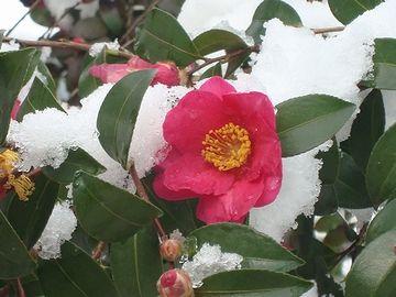 植物の雪椿について