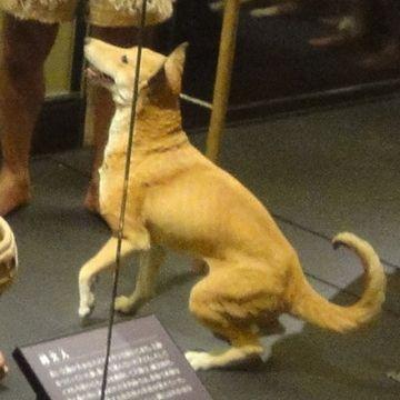 この犬が、縄文犬です