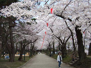 千秋公園・春は、桜