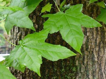 モミジバフウの葉