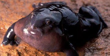 南インドで発見された新種のカエル。鼻が高いそうです。