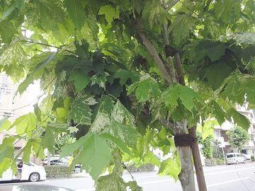 また街路樹