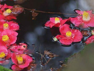 いそ山に春は咲てふ玉椿 かかるやなみの光なるらん