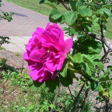 八重咲きのハマナス。バラそっくりです。