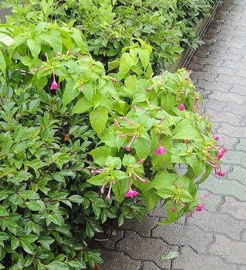 赤い花はオシロイバナ