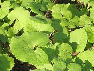 「蕗」は、葉に艶がありません