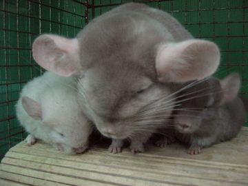 『チンチラ(ネズミの仲間)』。1メートルもジャンプする能力があり、20年生きるそうです。飼育には覚悟が必要。