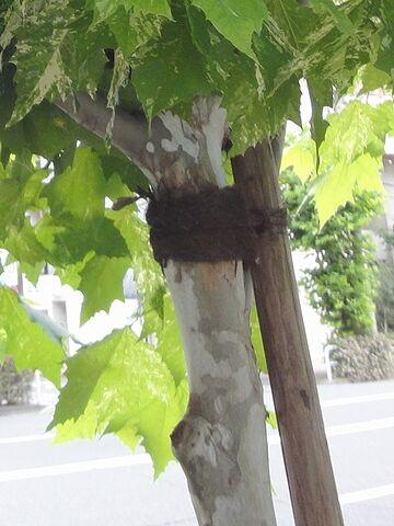 幹が、明らかにプラタナス