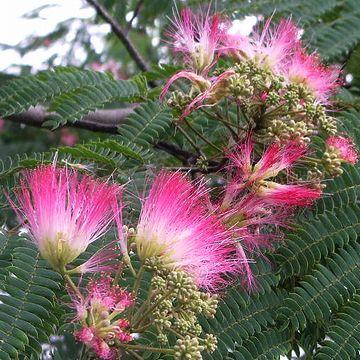 合歓の花が咲いてるんだから、まさしく梅雨
