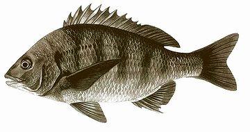 確かに、姿のいい魚です。