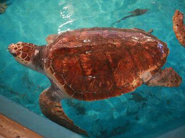 桂浜水族館のアカウミガメ