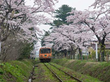 津軽鉄道の列車は、その桜のトンネルを走り抜けます