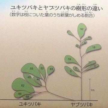 ユキツバキとヤブツバキの樹形の違い