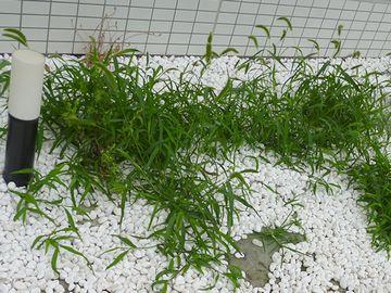 草が一直線に生えてる
