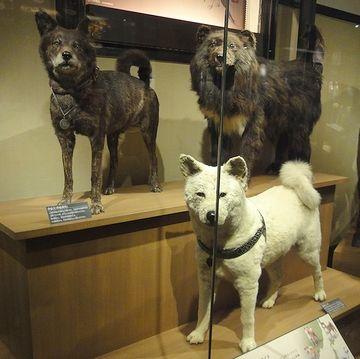 犬が進化して港川人になったわけではありません