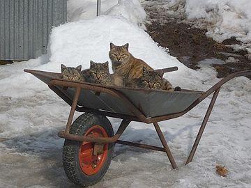 猫車に乗る猫