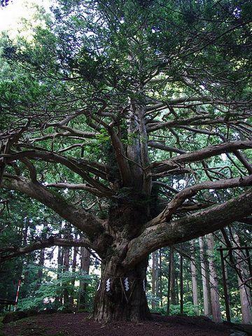 真山神社・榧の木の巨木