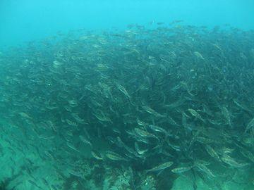 海底を這い上がって来て、浅瀬の藻場に集まるわけです