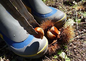 長靴で踏んづけて、栗の実を取り出します