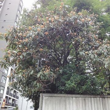 立派なビワの木