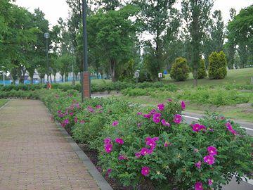 園路沿いに列植されたハマナス(北海道岩見沢市『いわみざわ公園』)
