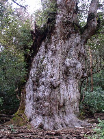 """屋久島の""""縄文杉""""。樹齢4000年。"""