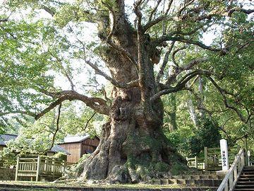 日本一の巨樹は、『蒲生の大楠(がもうのおおくす)』と呼ばれる、鹿児島のクスノキ