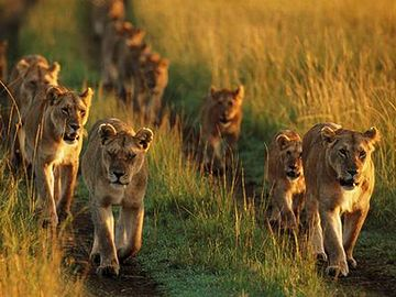 例えば、ライオンの群れを考えてみればいい